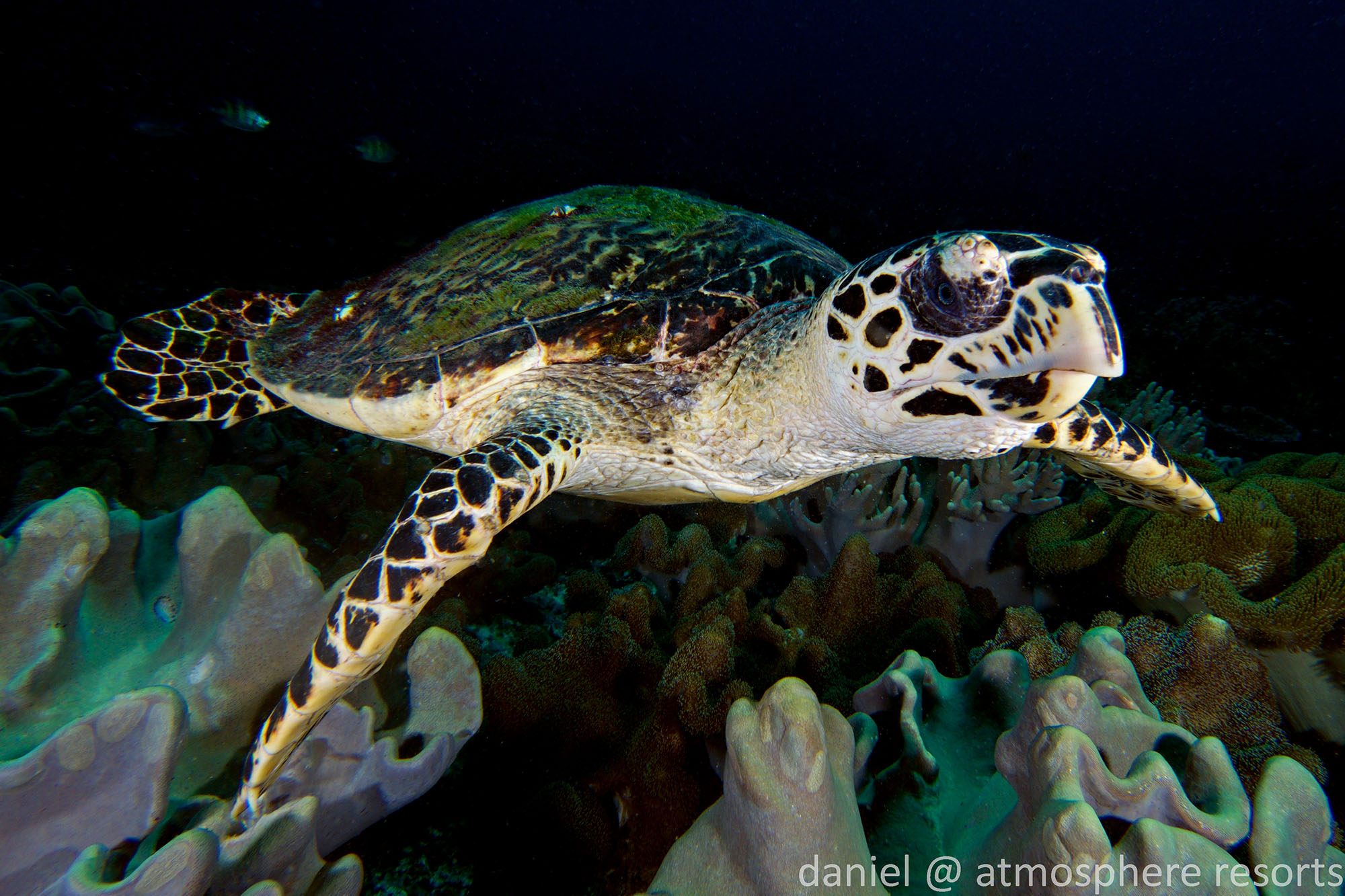 Hawksbill sea turtle in Apo Island Philippines with Atmosphere Resort