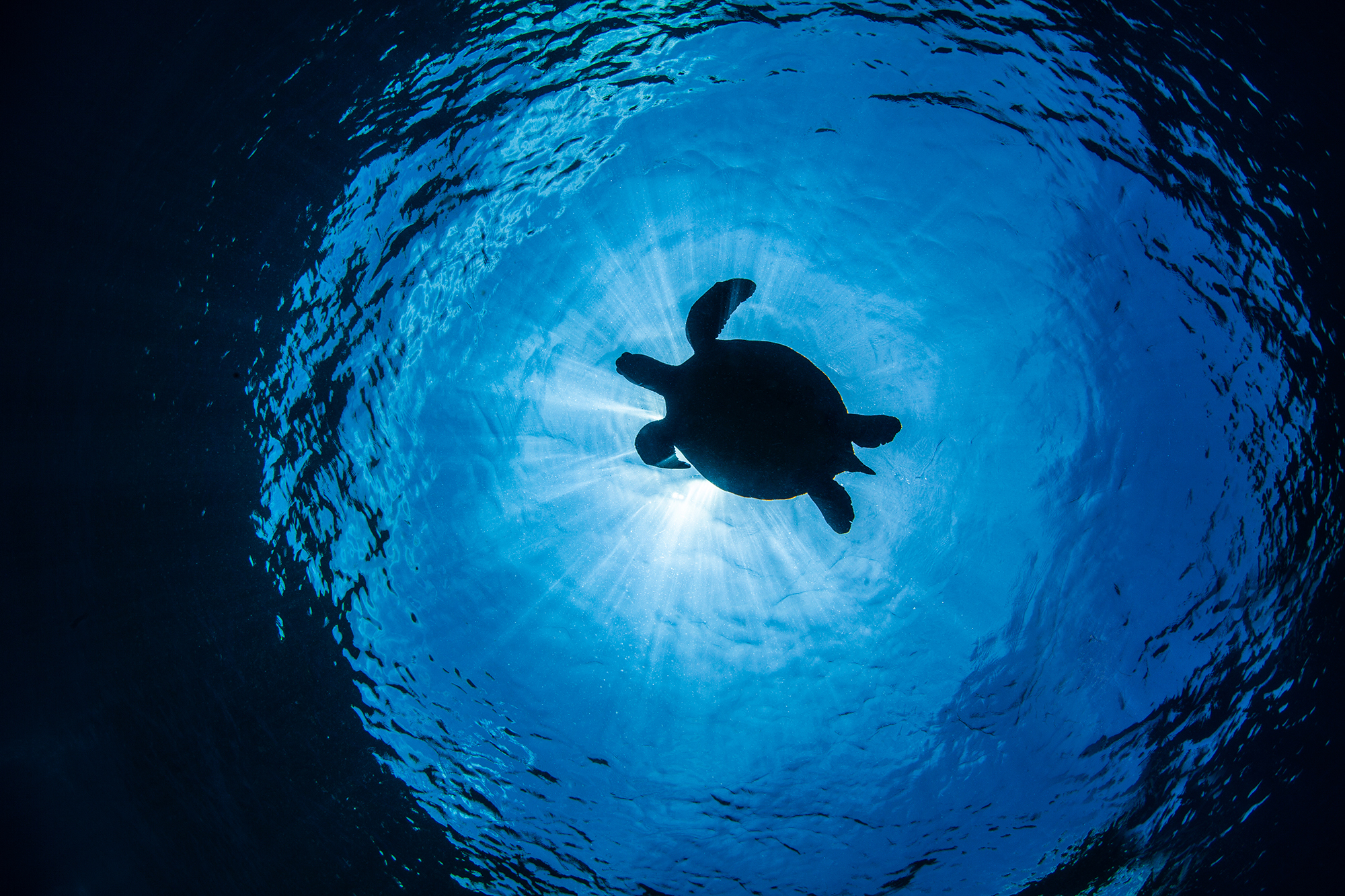 Turtle going up for air in Apo island near Atmosphere Resort Philippines. Photo by Nicholas Samaras.