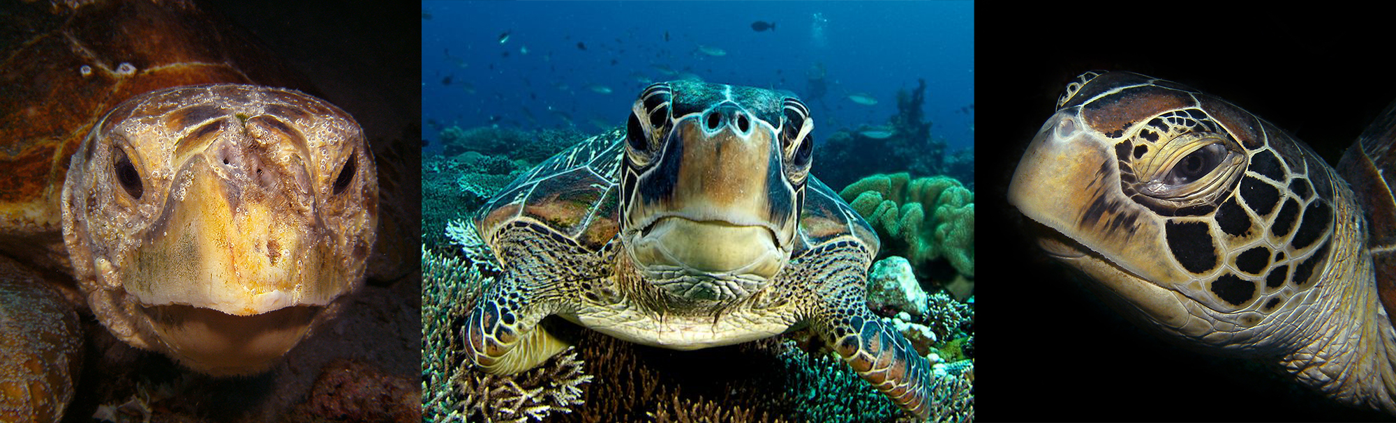 green sea turtle essay Npsgov 5 hawaiian green sea turtle credit: claire fackler, noaa national marine sanctuaries some species, such as loggerhead, green, hawksbill, and.