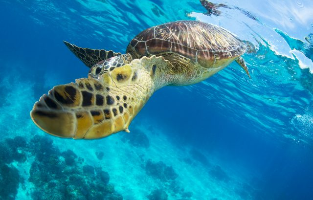 Sea Turtle having had a breath of air in Apo island Philippines with Atmosphere Resort. Photo by Yorko Summer