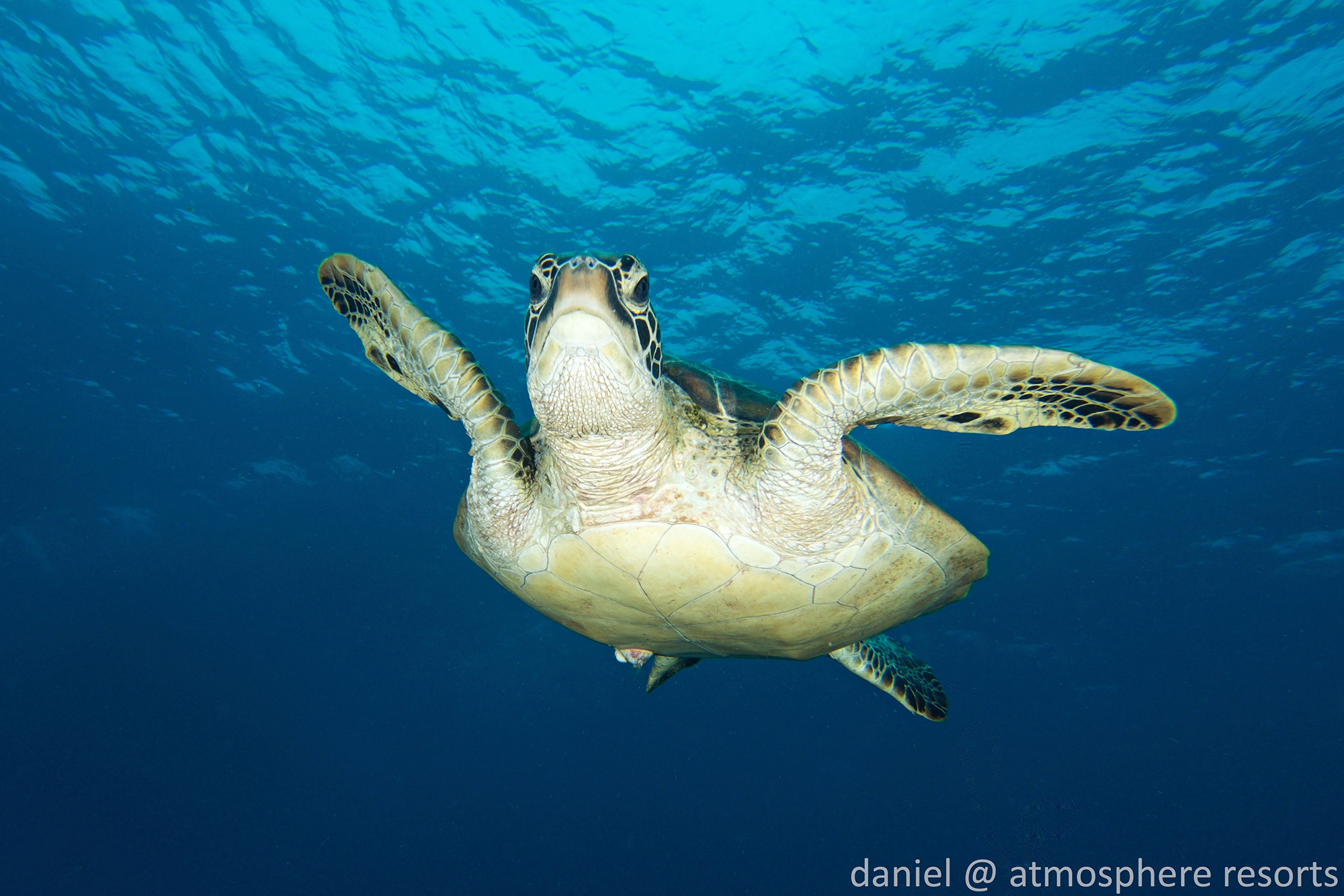 Green sea turtle in Apo Island Philippines by Atmosphere Resort. Photo by Daniel Geary.