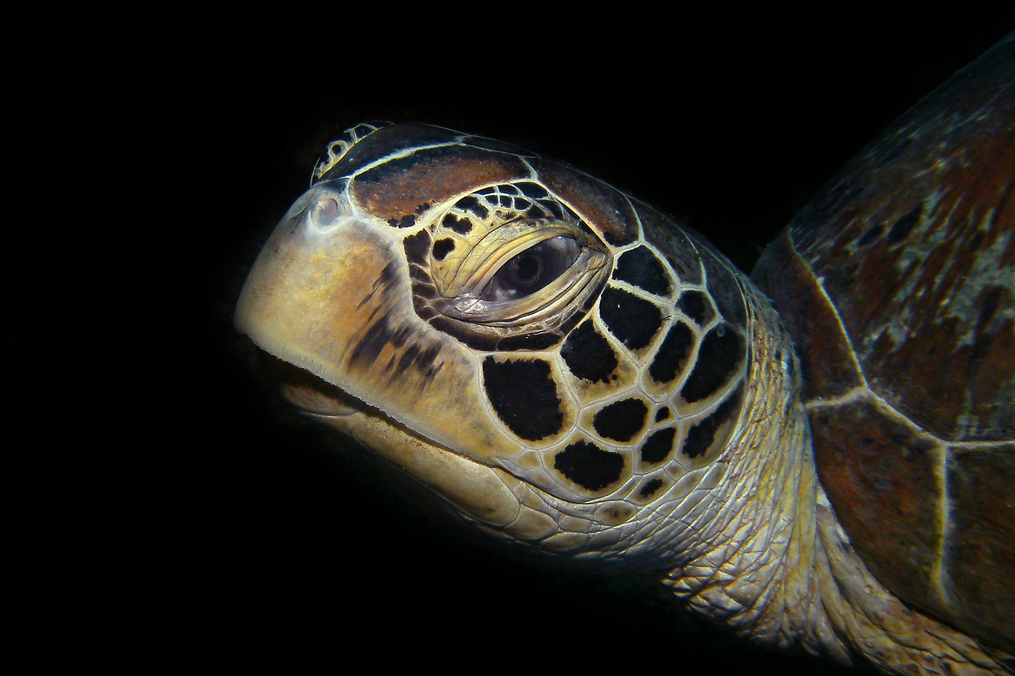 Green sea turtle from apo island or dauin near Atmosphere Resort in the Philippines