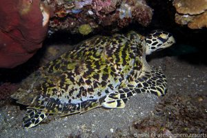 Hawksbill turtle on Atmosphere Resort house reef, Dauin, Dumaguete, in the Philippines. Photo by Daniel Geary.