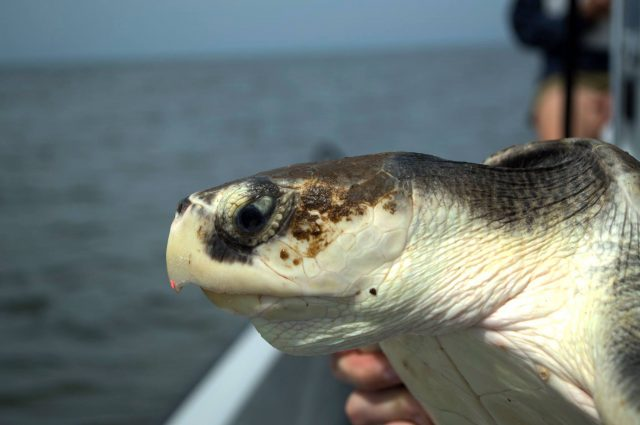 Kemps ridley sea turtle florida