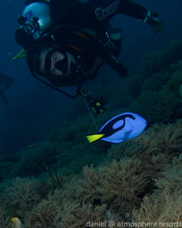 "Blue tang or ""Dory"" in Raja Ampat on the Siren liveaboard with Atmosphere Resort"