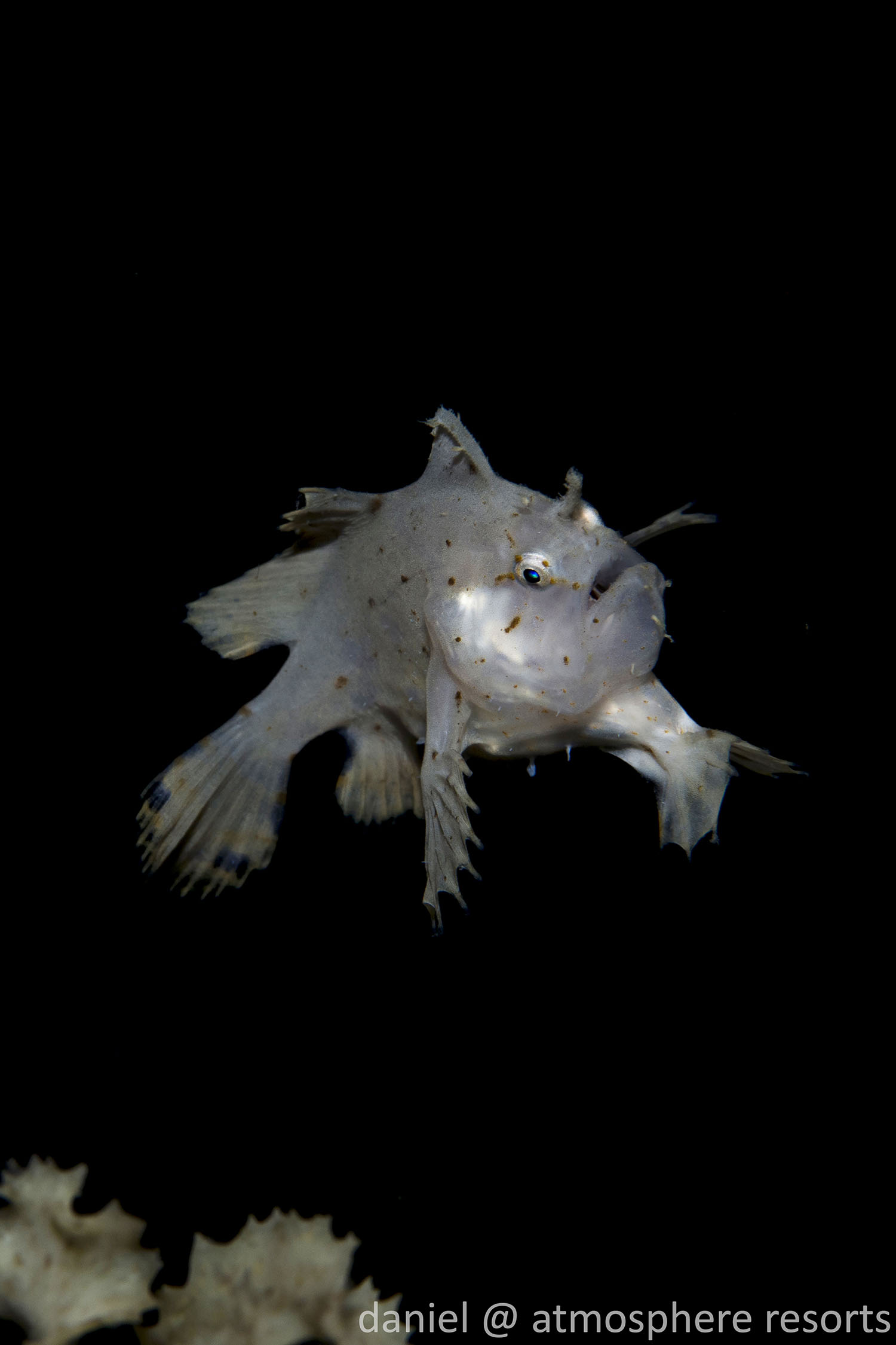 Cute as a button! Juvenile sargassumfish baby frogfish photographed by daniel Geary, Atmosphere Resort, Philippines