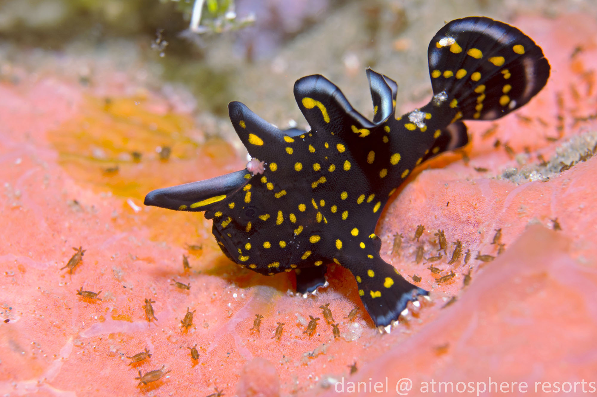 Tattoo frogfish - a painted baby frogfish with a pattern that really stands out at Atmosphere Resort in Dumaguete Philippines. Photo by Daniel Geary