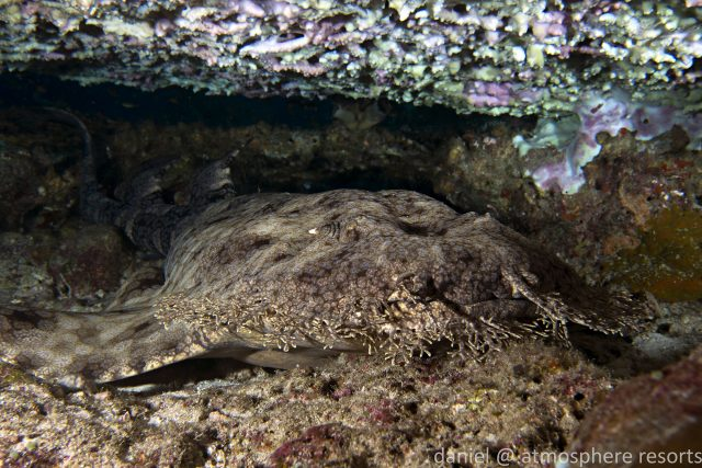 Tasseled wobbegong shark in Raja Ampat onboard the Siren liveaboard with Atmosphere Resort