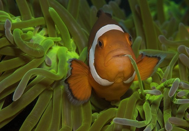 Clownfish - False Clown Anemonefish by Ulrika Kroon Atmopshere Resort Dauin Dumaguete Philippines
