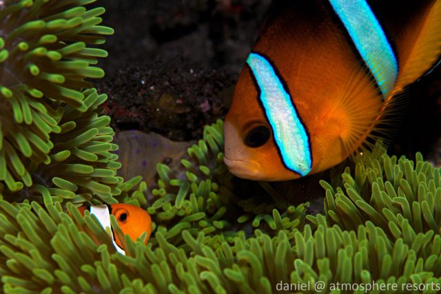 Clark's anemonefish in Dauin, Dumaguete, Philippines. Photo by Daniel Geary at Atmosphere Resorts & Spa.