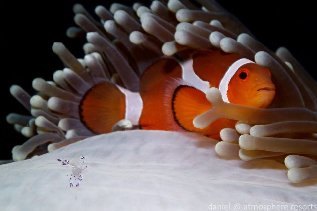 Clownfish - False clown anemonefish - Nemo . photo by Daniel Geary Atmosphere Resorts & Spa Dauin Dumaguete Philippines