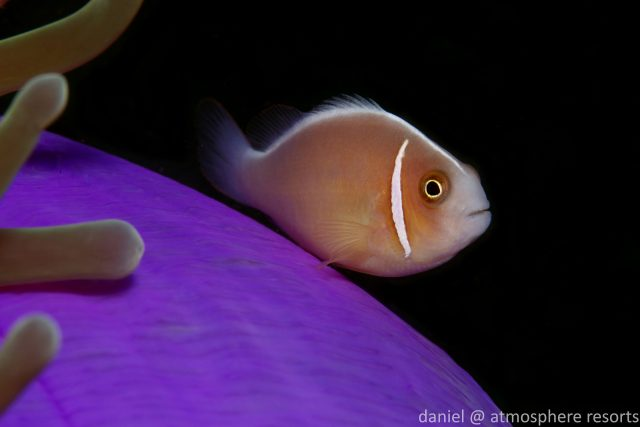 Clownfish - Pink Anemonefish - Photo by Daniel Geary Atmosphere Rersorts & Spa dauin Dumaguete Philippines
