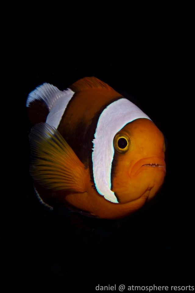 Clownfish - Saddleback Anemonefish by daniel Geary at Atmosphere Resorts & Spa Dauin Dumaguete Philippines