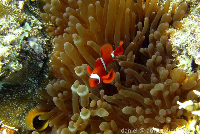 Spinecheek Anemonefish by Daniel Geary at Atmosphere Resorts & Spa Dauin Dumaguete Philippines