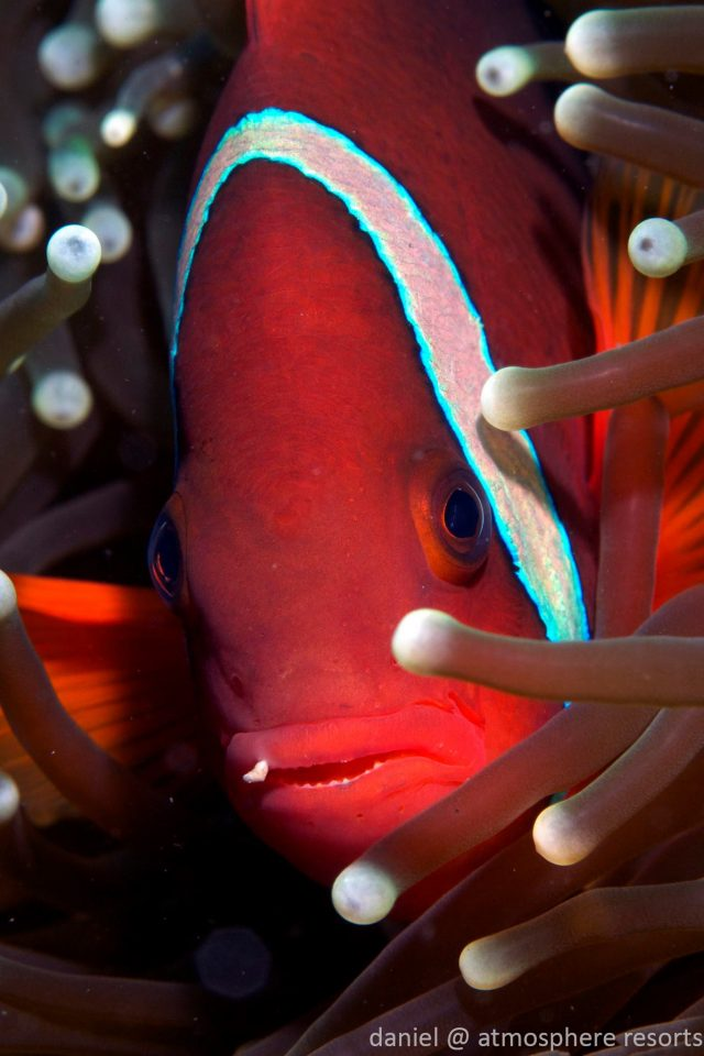 Clownfish - Tomato Anemonefish by Daniel Geary at Atmosphere Resorts & Spa Dauin Dumaguete Philippines