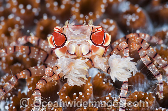 Boxer Crab, Photo by Daniel Geary of Atmsophere Resorts