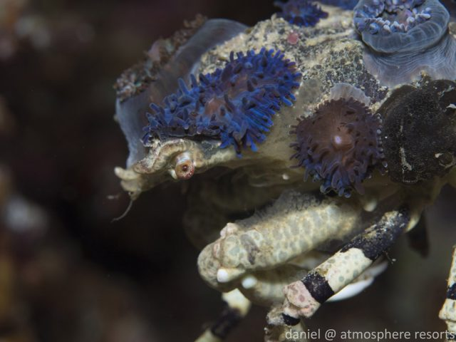 Crazy Crab Decorator Crab, Photo Daniel Geary of Atmosphere Resorts