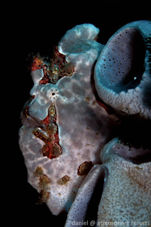 Photographing Frogfish, Dauin, Philippines