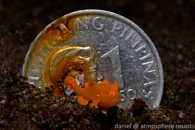 Frogfish, Dauin, Philippines, Atmosphere Resorts