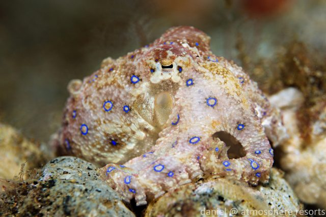 Blue Ring Octopus, Atmosphere Resorts, Dauin Philippines