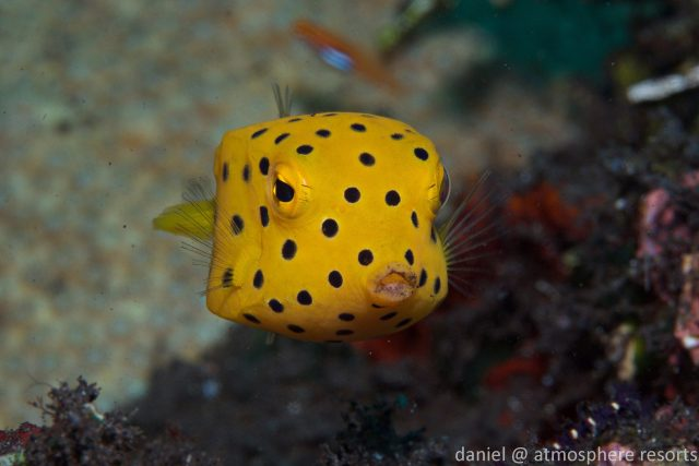 Juvenile Boxfish, dauin, Dumaguete, Philippines. Photo by daniel Geary