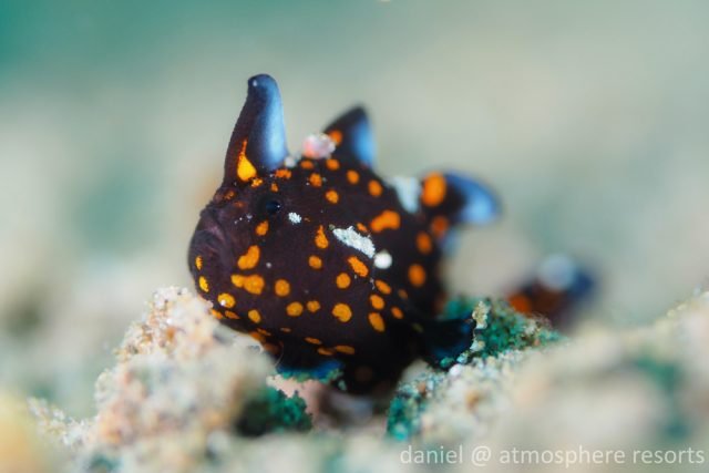 Juvenile Tatoo Frogfish, Atmosphere Resorts, Dauin Philippines