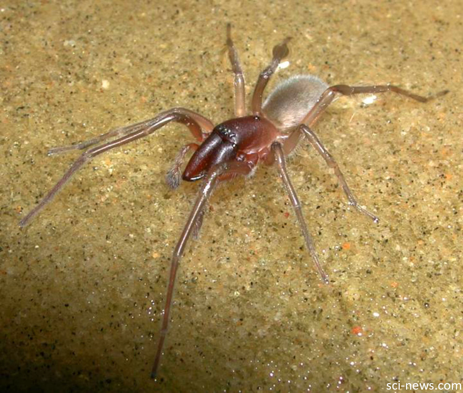 "Bob Marley Intertidal Spider – This spider, Desis bobmarleyi, is an intertidal species, meaning its habitat is the area that is covered/uncovered between high tide and low tide. This matches Bob Marley's song ""High Tide or Low Tide"" so they decided to name the spider after him. Blog by Daniel Geary, Atmosphere Resort, Philippines"