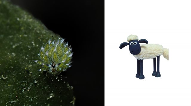 shaun the sheep nudibranch