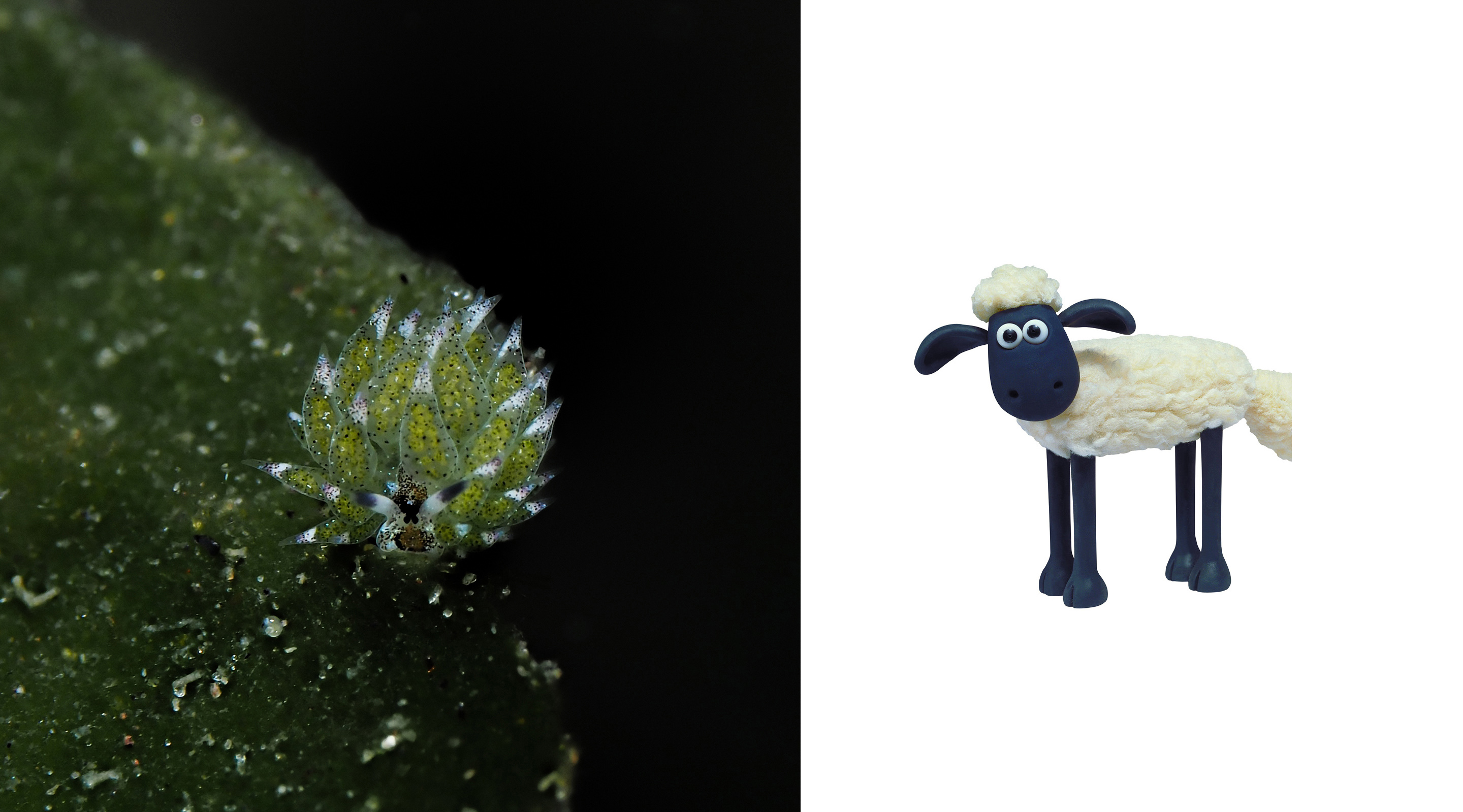 Shaun the Sheep – This one is self explanatory. Who knew we had little slugs in Dauin that not only graze like a sheep, but also resemble one of television's most famous sheep? Blog by Daniel Geary at Atmosphere Resort Philippines