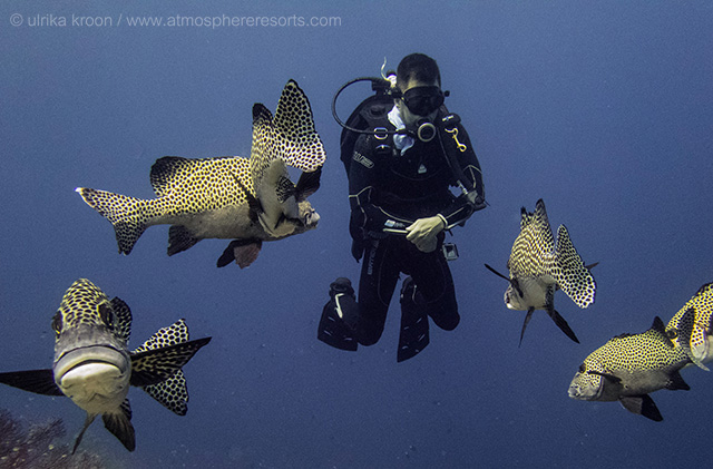 Harlequin sweetlips checking out a diver in Tubbataha 2018 by Ulrika Kroon
