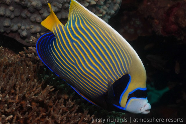 Adult Emperor Angelfish Kirsty Richards