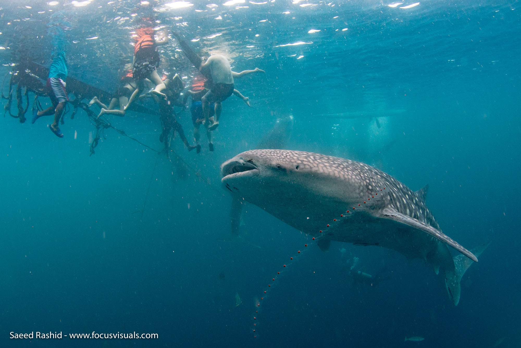 whale shark 4 in oslob with atmosphere Philippines