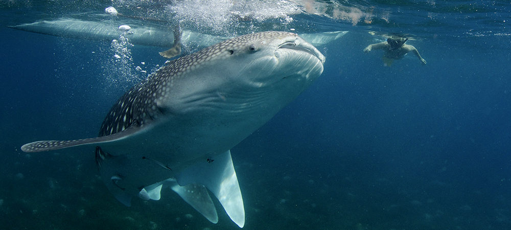 Whale shark in Oslob Philippines with Atmosphere