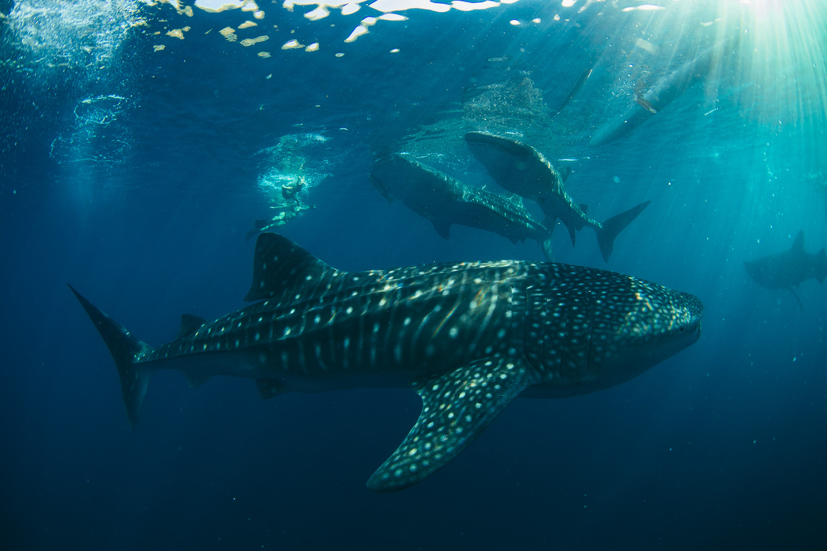 whale shark 3 in oslob with Atmosphere Philippines